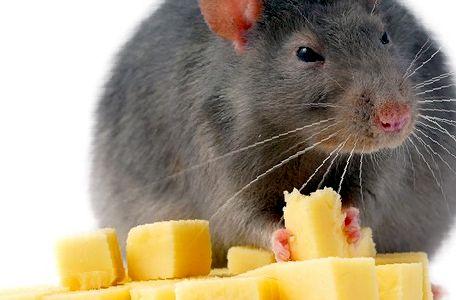 Что едят домашние крысы: рацион грызуна