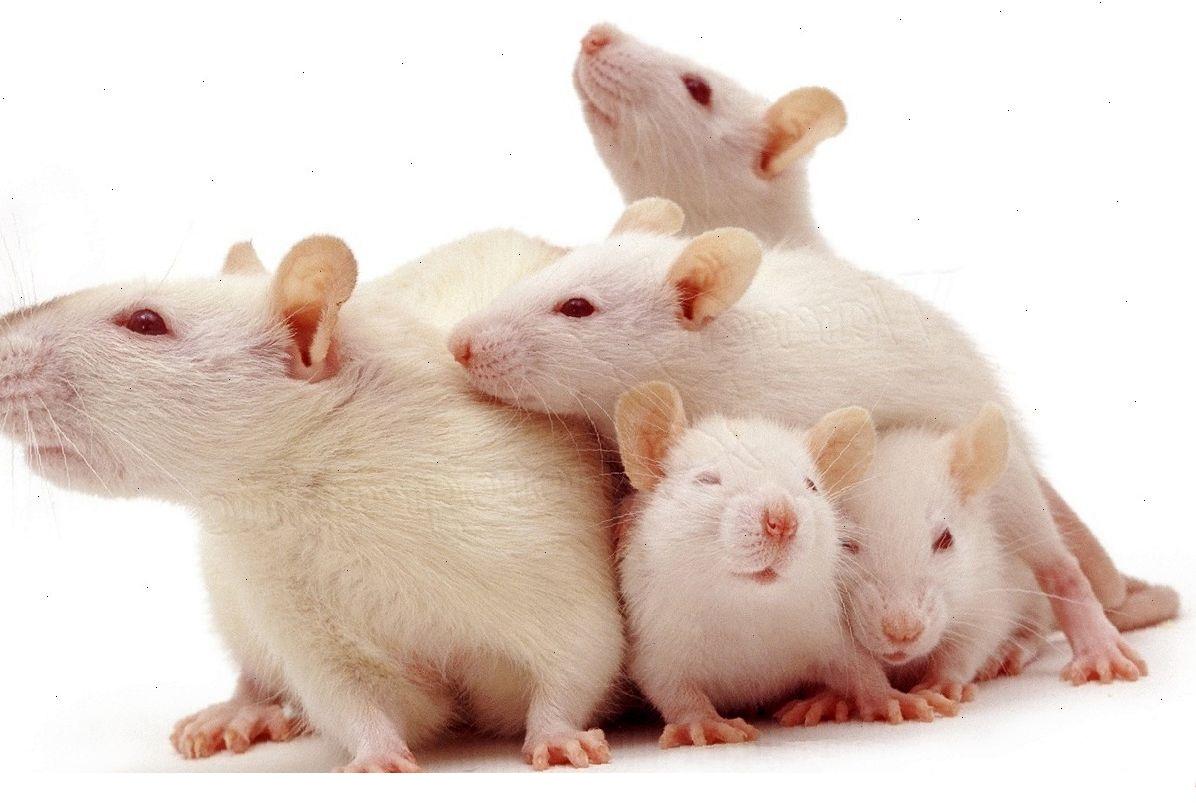 Новорожденные крысята: этапы развития и правила ухода
