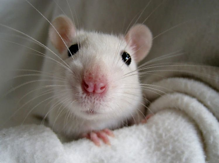 Уход за домашней крысы. Советы по содержанию