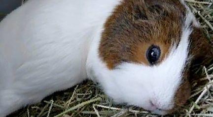 Как и сколько спят морские свинки?
