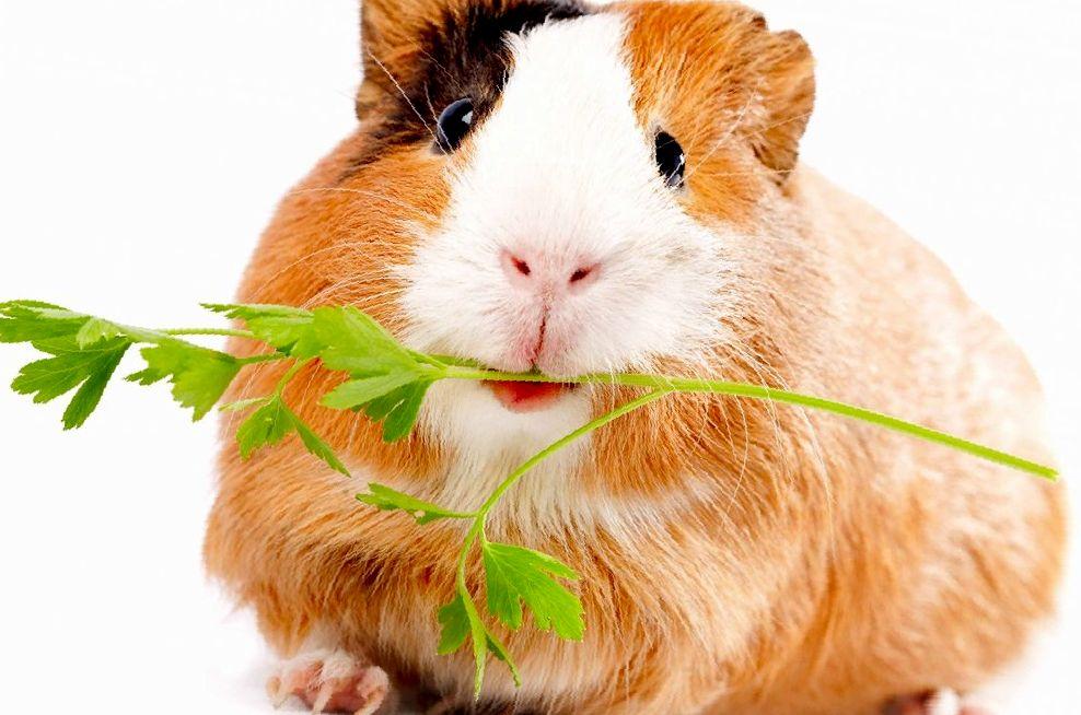 Какими травами можно кормить морских свинок