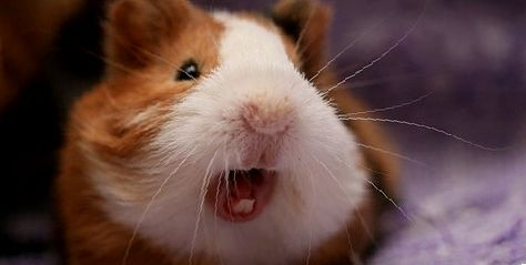 Что нужно знать об укусах морских свинок?