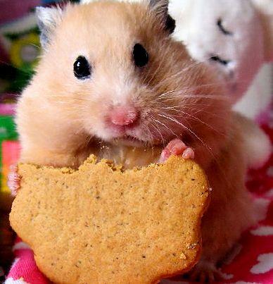 Можно ли хомякам давать хлеб?