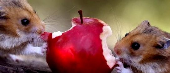 Как и чем кормить хомячков: рацион питания в домашних условиях