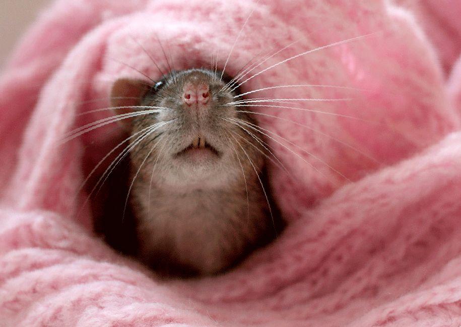 имена для домашних крыс