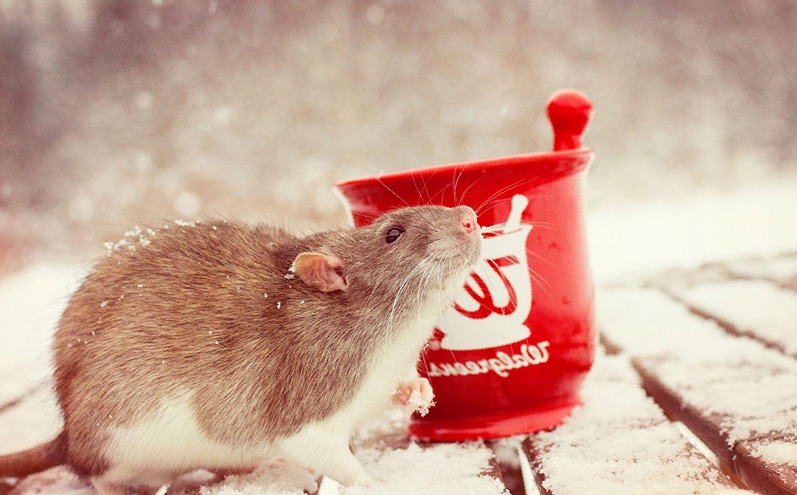 как назвать крысу?
