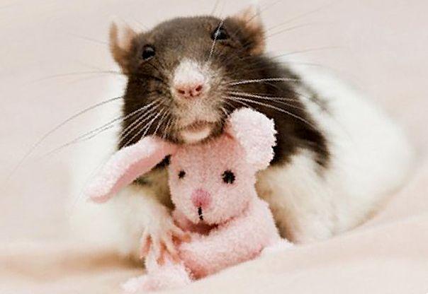 Симптомы инсульта у крыс