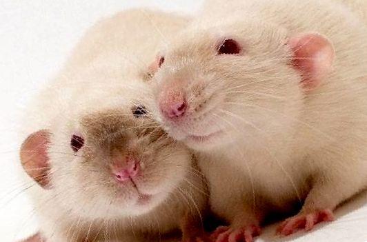 Симптомы микоплазмоз у крыс