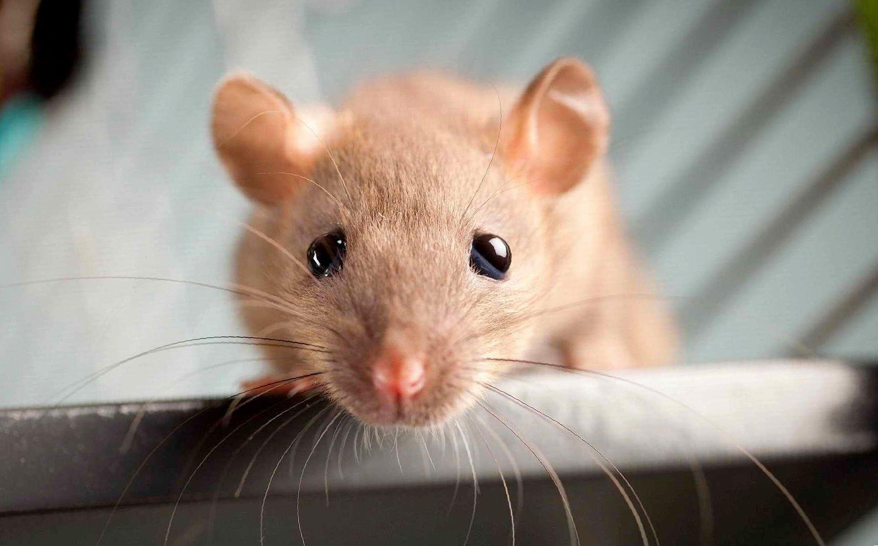 Микоплазмоз у крыс