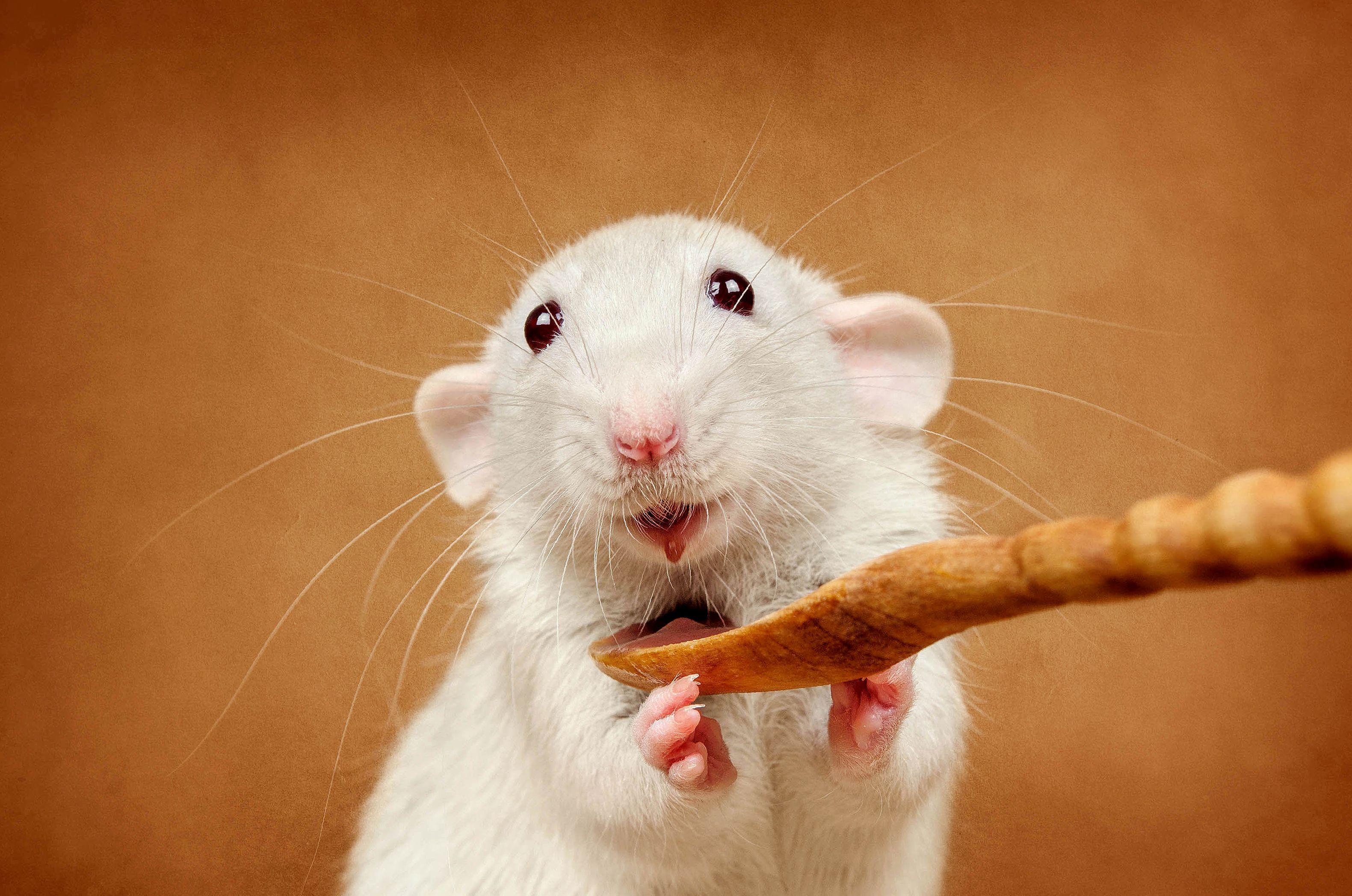 Симптомы и лечение микоплазмоза у крыс