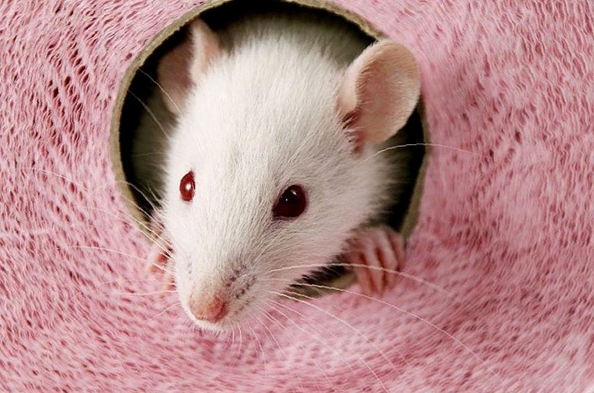 Лечение микоплазмоза у декоративных крыс