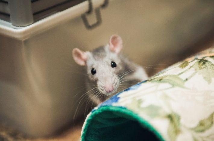 нужно ли мыть крысу