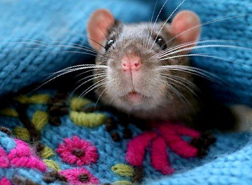 Признаки инсульта у крыс