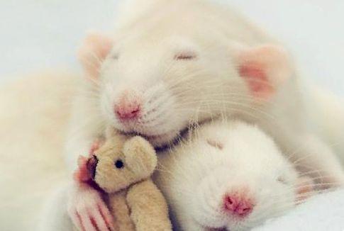 Лечение инсульта у крыс