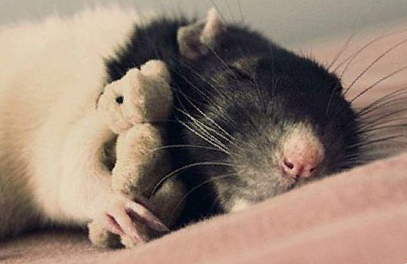 Что делать если у крысы инсульт