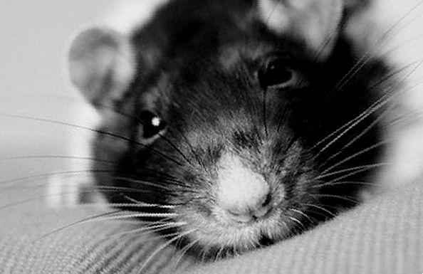 Уход за крысой после инсульта