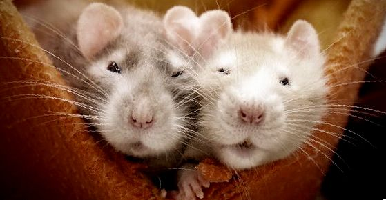 как часто моют крыс