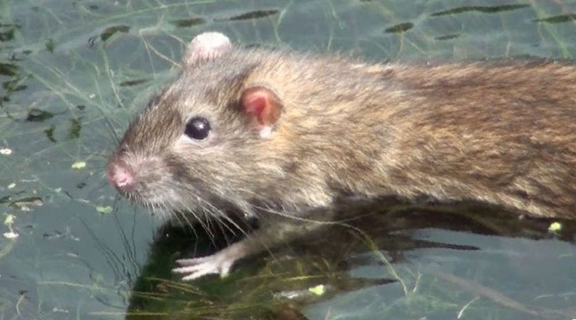 моют ли крыс