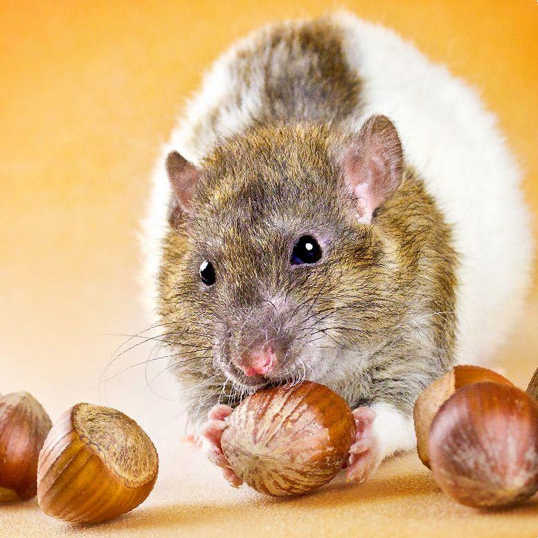 сколько живут декоративные крысы дамбо в домашних условиях
