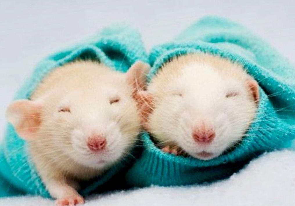 сколько живут домашние декоративные крысы
