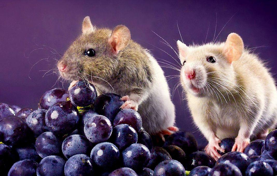 сколько лет живут крысы в домашних условиях и как умираю