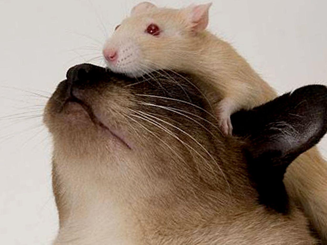 сколько лет живут ручные домашние крысы
