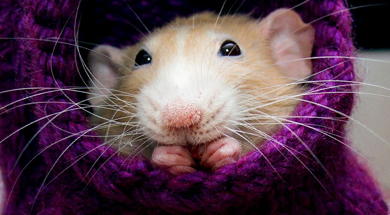 сколько живут крысы в домашних условиях