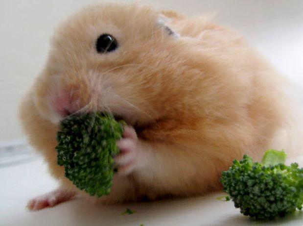 Какую траву и зелень едят хомяки?
