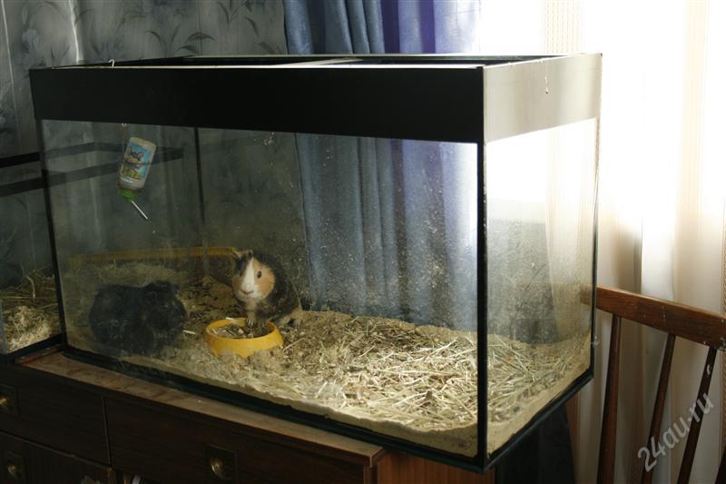 Морская свинка в аквариуме