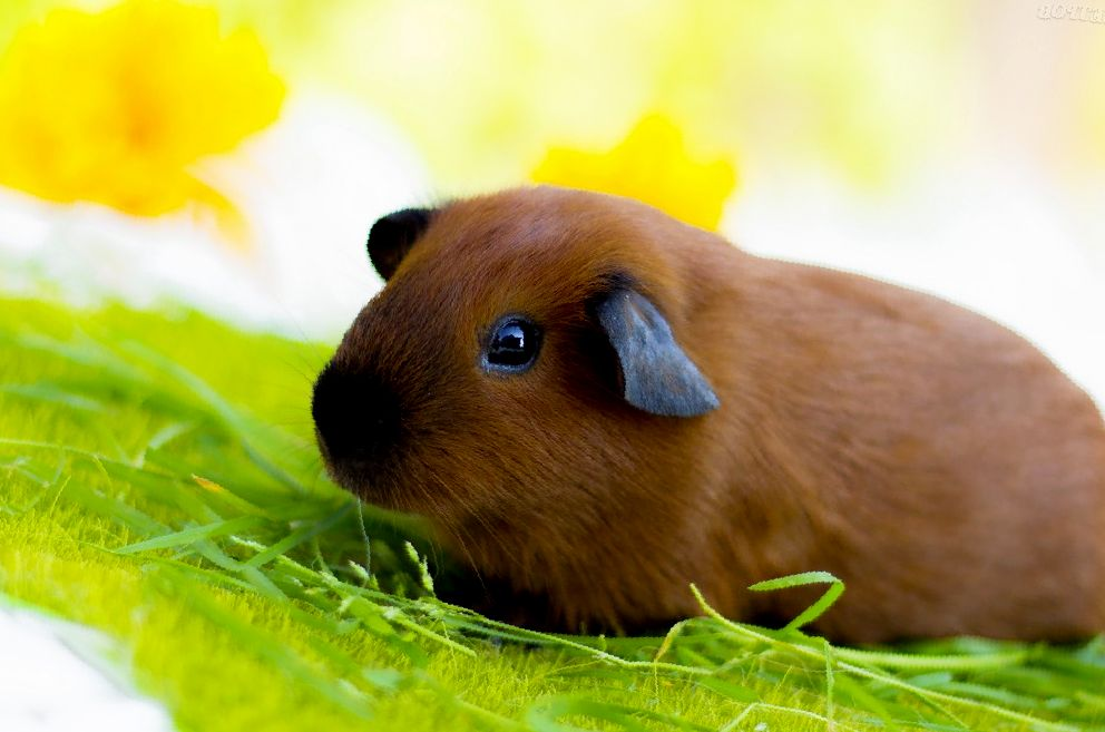 Можно ли морским свинкам кабачки