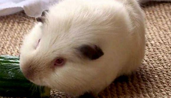 огурец морской свинке можно ли
