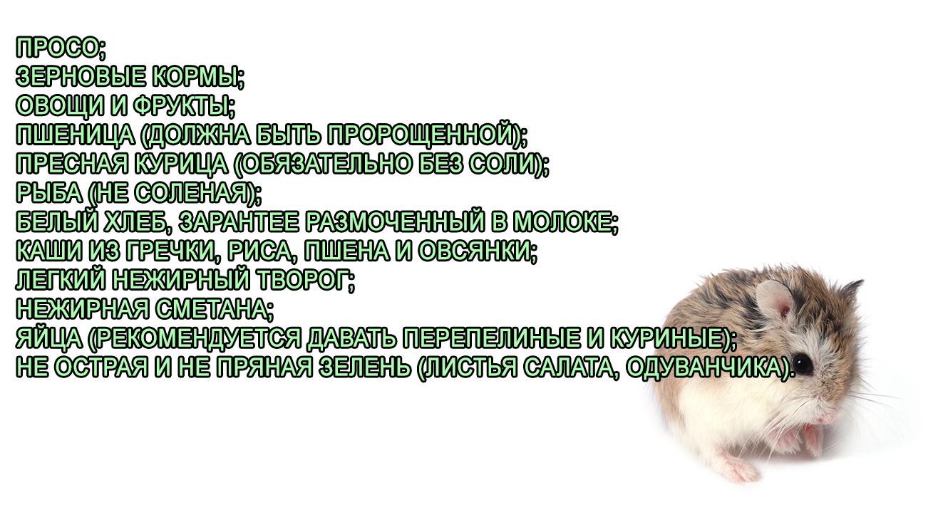 Хомяк Роборовского - фото, описание и сколько живет.