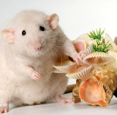 дрессировка крыс