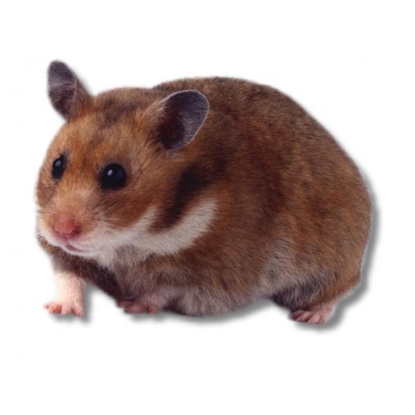 коричневый хомяк фото