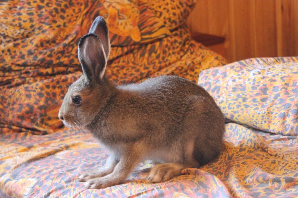 Домашний заяц