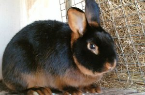 Размножение зайцев дома