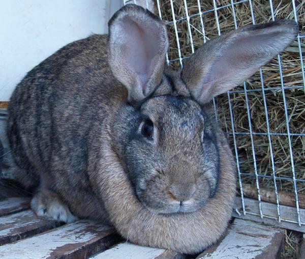 Кролик серый великан - описание породы